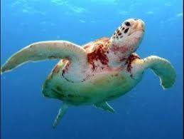 vörös foltok a teknős hasán)