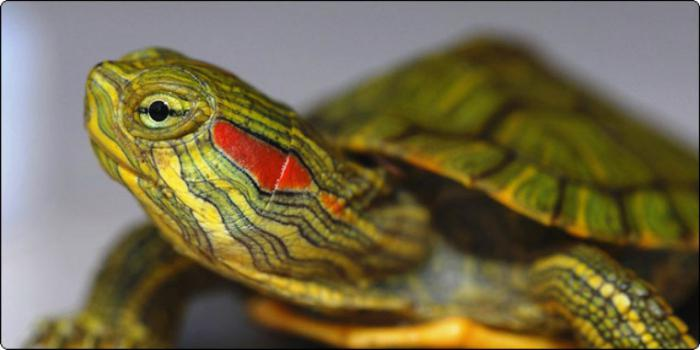 vörös foltok a vörös fülű teknős bőrén