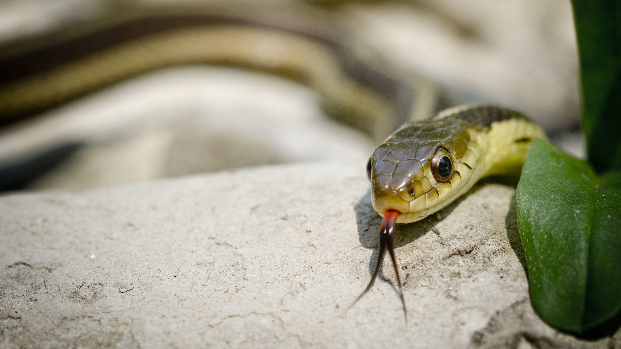 kígyó pikkelysömör kezelése)