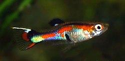 nőstény guppy hasán piros folt van