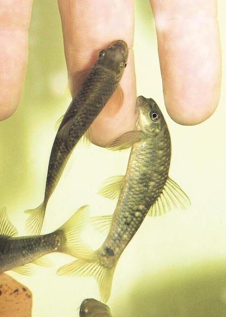 halak pikkelysömör kezelésére)