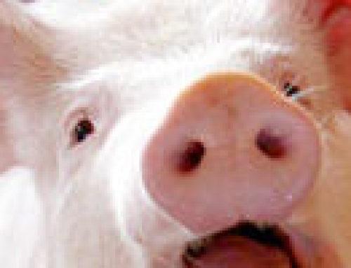 A sertés külső élősködői | Kárpátalja