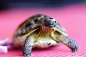vörös foltok a teknős hasán vörös foltok a testen. hogyan kell kezelni