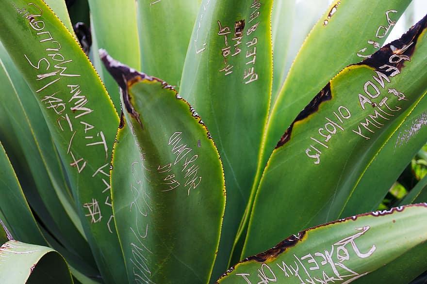 pikkelysömör kezelésére agave)