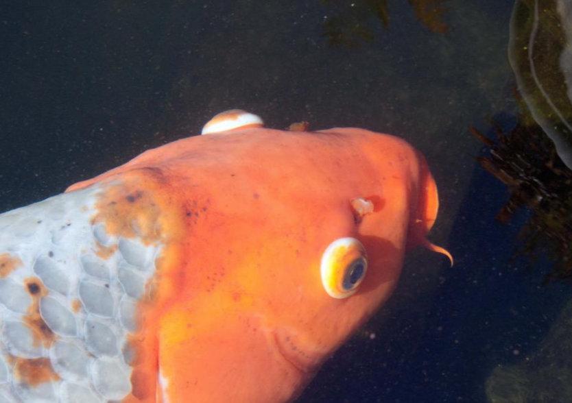 hogyan kezeljük az aranyhal vörös foltjait)