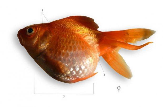 vörös foltok az aranyhal hasán)