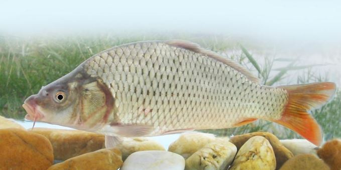 milyen halak kezelik a pikkelysmr