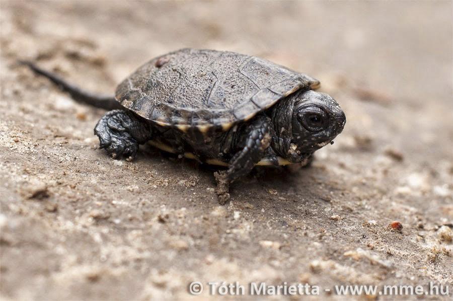 vörös foltok a teknős hasán vörös folt van a bőrön, és fáj