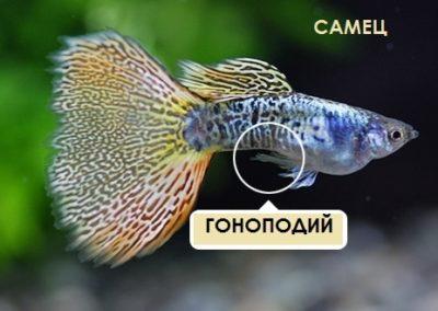 nőstény guppy hasán piros folt van)