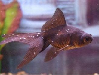 az aranyhal hasán vörös folt van