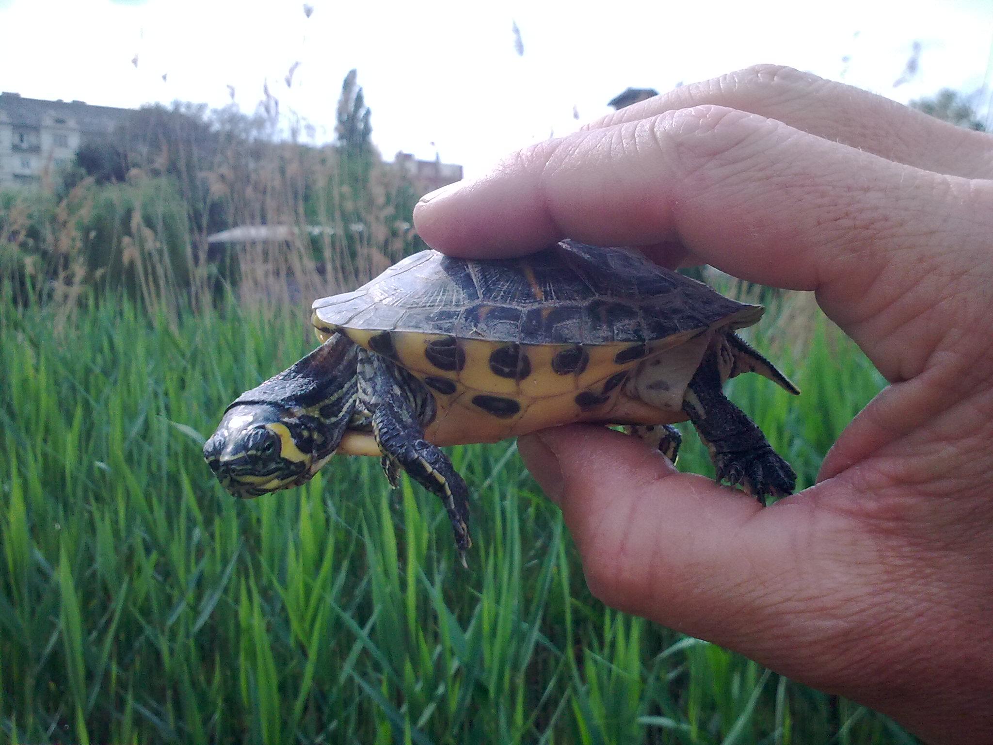 vörös foltok a teknős hasán pikkelysömör fotó a lábakon hogyan kell kezelni