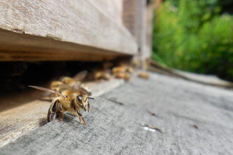 elhalt méhek pikkelysömörének kezelése)