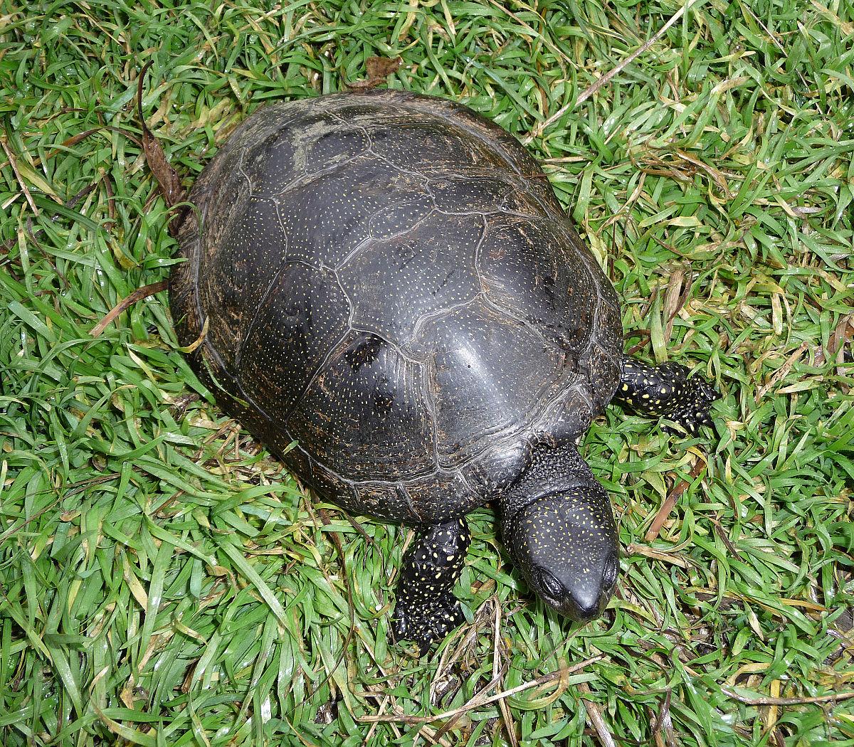 vörös foltok a teknős hasán Európai pikkelysmr kezels protokollja